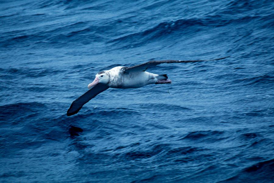 Albatros fliegend