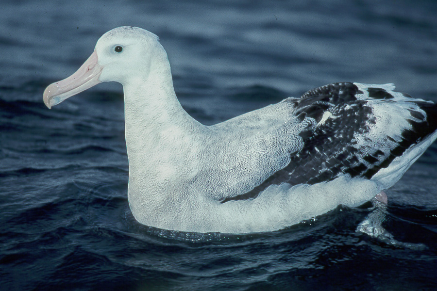 Albatros schwimmend
