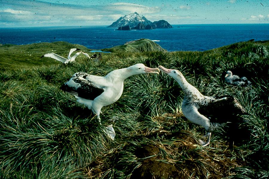 Albatrosse | Paar